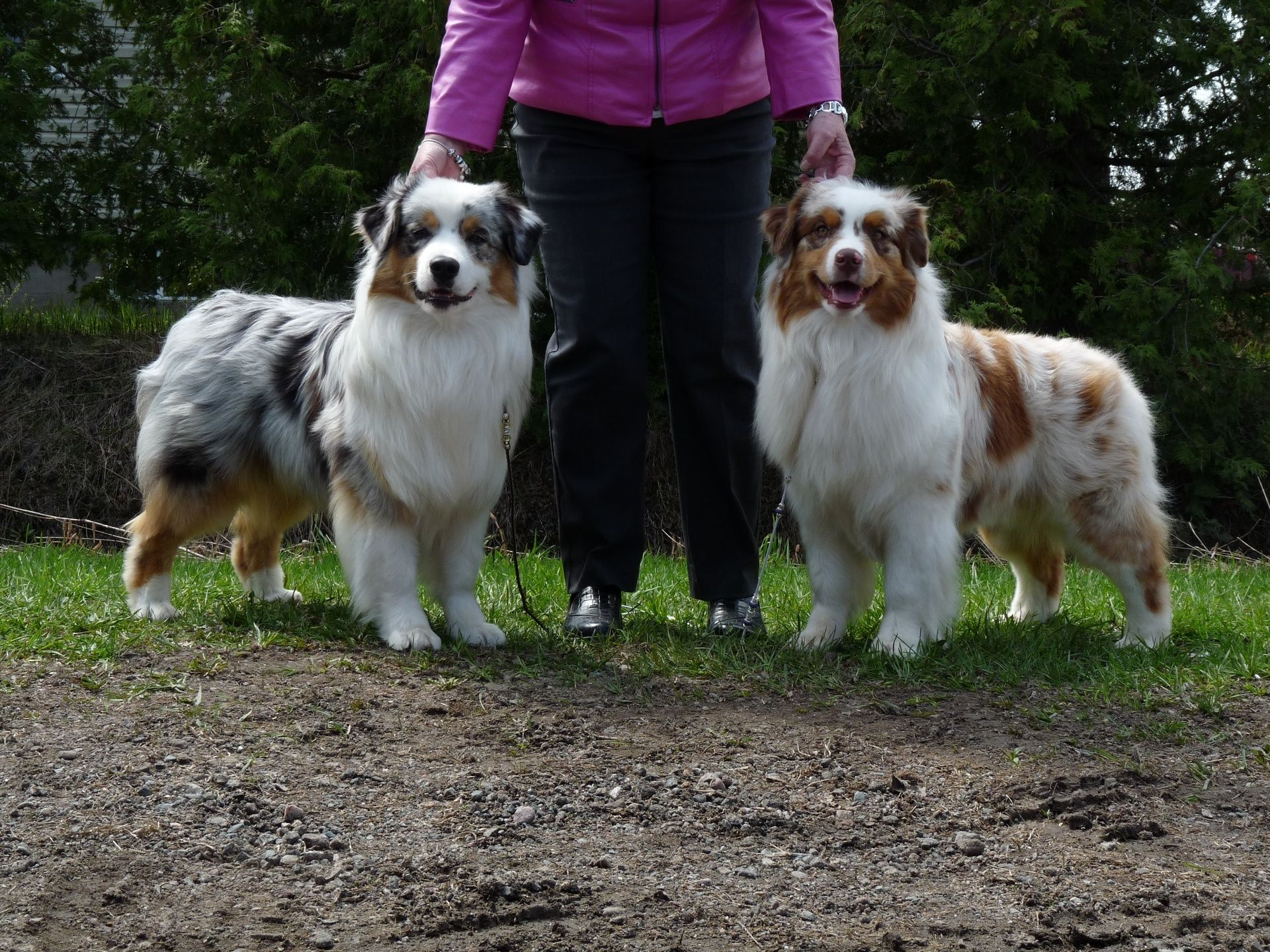 Gorgeous Australian Shepherd Puppies Both Are New Champions In