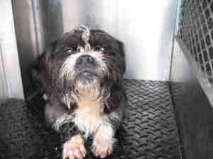 A889401 Kern Shelter Is An Adoptable Shih Tzu Dog In Bakersfield