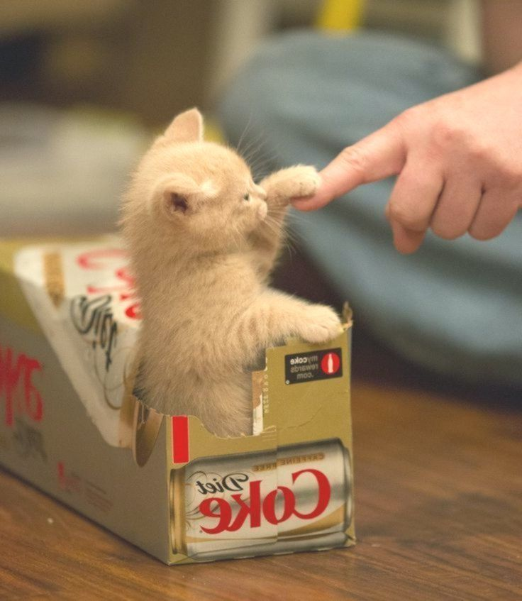 'High-Five Daddy' - Adorable Little Baby Ginger Kitten in a Box - #39HighFive #adorable #Baby #Box #daddy #Daddy39 #ginger #kitten #little #gingerkitten 'High-Five Daddy' - Adorable Little Baby Ginger Kitten in a Box - #39HighFive #adorable #Baby #Box #daddy #Daddy39 #ginger #kitten #little #gingerkitten 'High-Five Daddy' - Adorable Little Baby Ginger Kitten in a Box - #39HighFive #adorable #Baby #Box #daddy #Daddy39 #ginger #kitten #little #gingerkitten 'High-Five Daddy' - Adorable Little Baby #gingerkitten