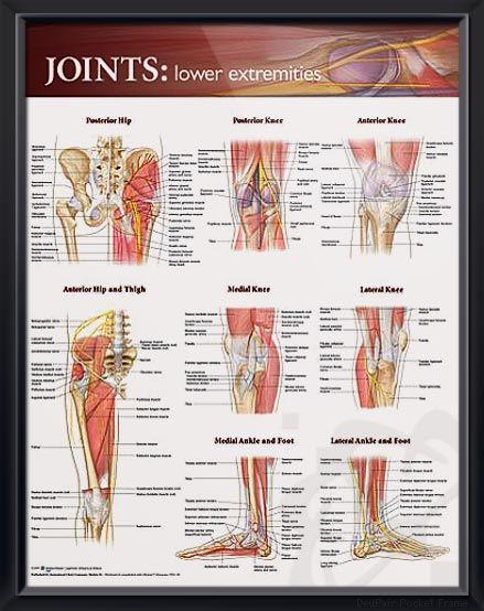 Joints Lower Extremities Chart 20x26 Pinterest Anatomy Muscles