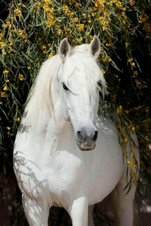 Beautiful white grey horse under the yellow flower bush tree. Such a pretty white clean horse.