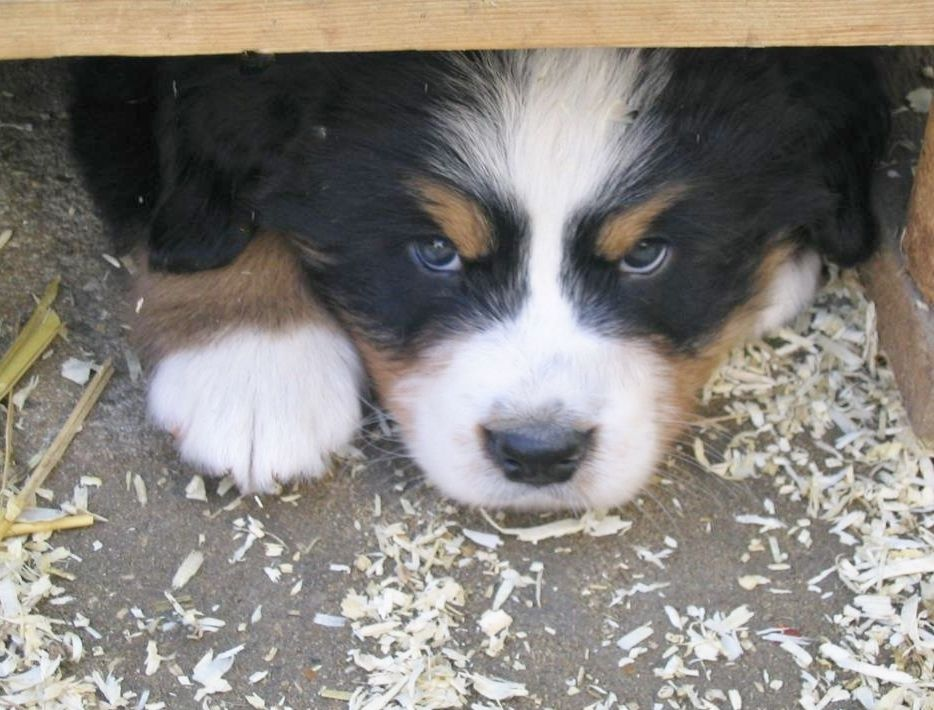 Nope I M Not Coming Out Cute Animals Dog Peeking Bernese Mountain Dog Puppy