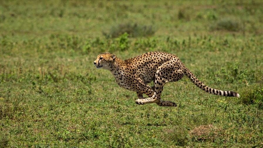 Cheetah Running Wallpaper Download Free Hd Quality Cheetah