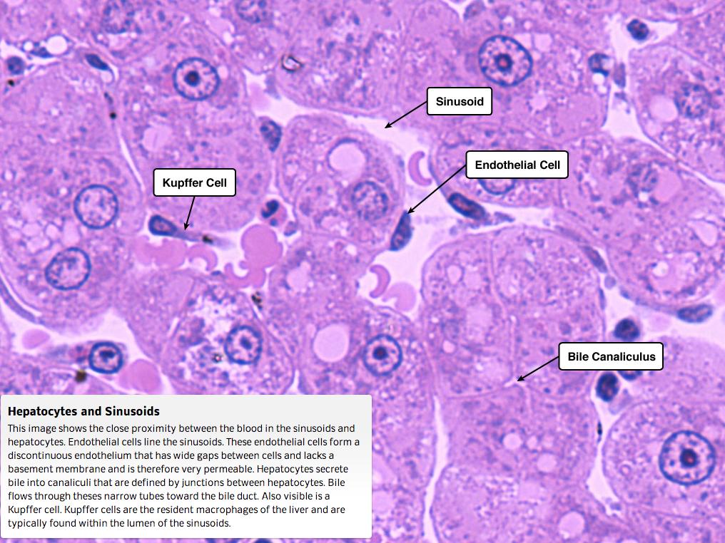 Sinusoide hepático etiquetado. MO. | Histología | Pinterest | Biología