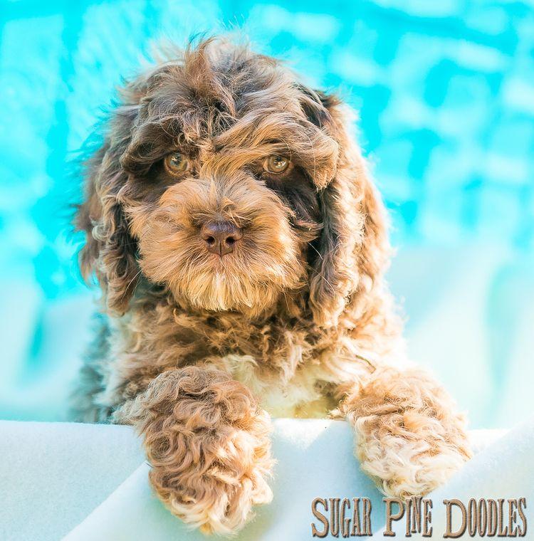 Puppy Gallery Labradoodle puppy, Labradoodle puppies for