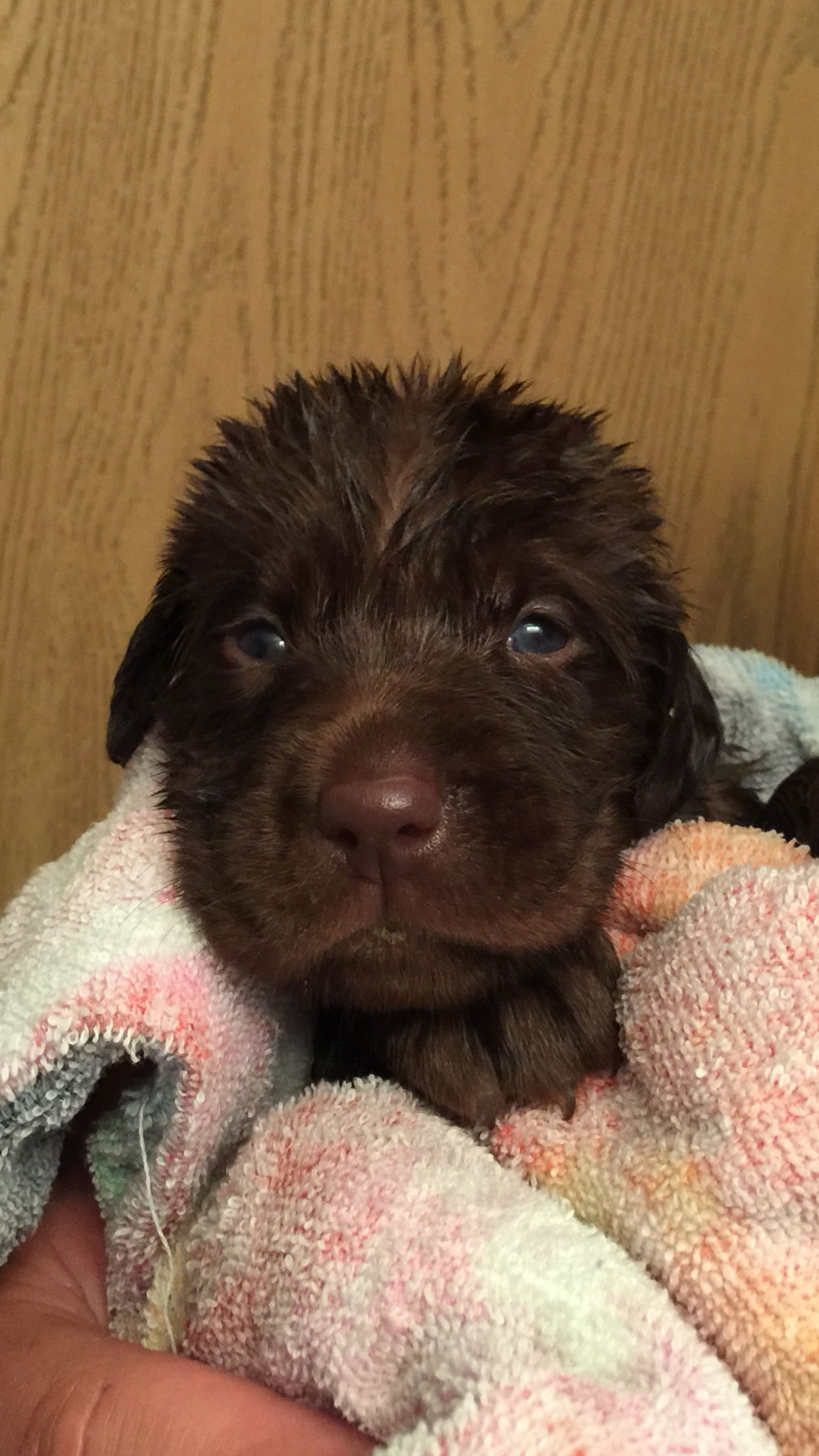 3 Week Old Chocolate Lab Pup Just Had His Bath Lab Puppies