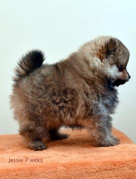 Pomeranian Puppy For Sale In Salem Or Adn 36326 On Puppyfinder