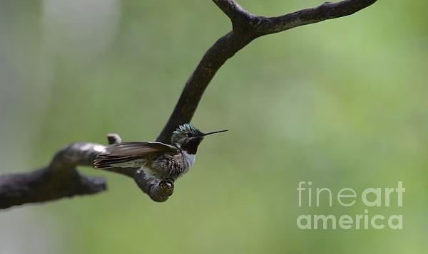 broad tailed humming bird- wings  (Art-photography- images- by  Rae Ann M. Garrett -_ RaeAnn Garrett)