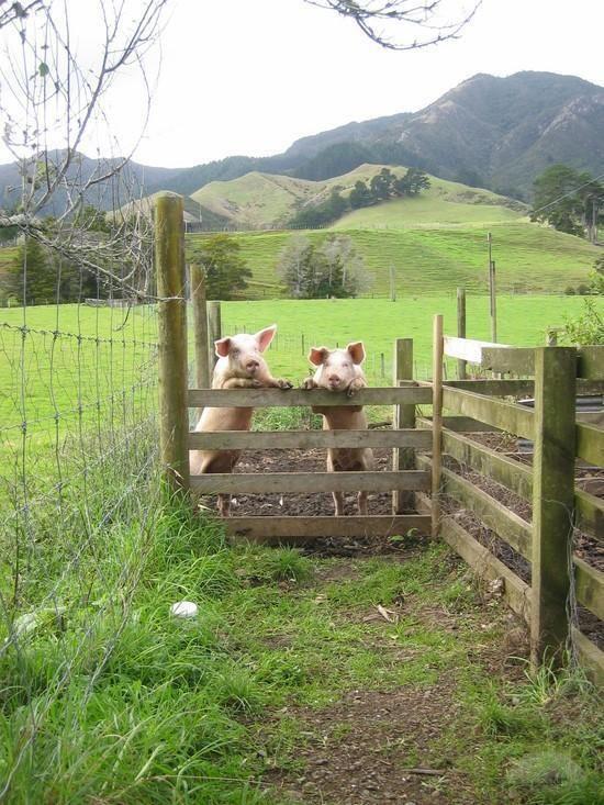 Life Is Good In The Country I Would Love To Have Some Piggies Nutztiere Bauernhof Tiere Und Landleben