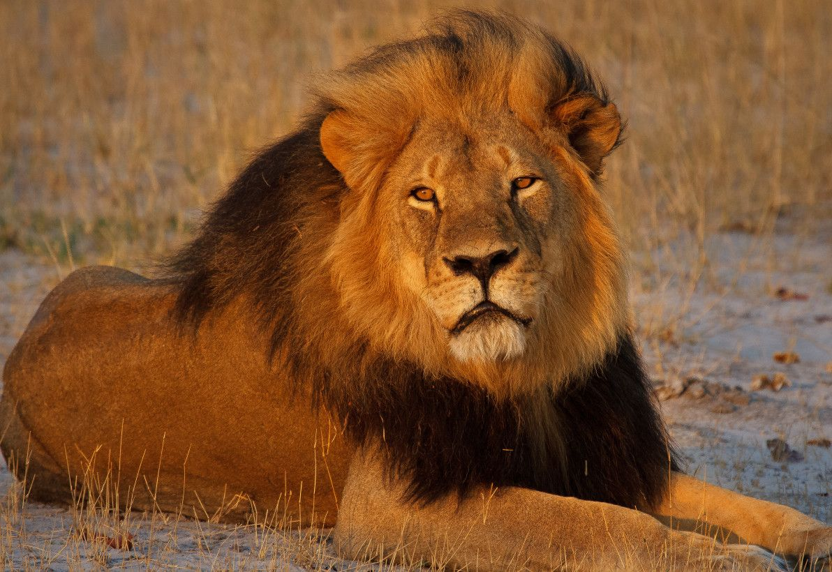 10 Different Types Of Lions with Fact and Pictures