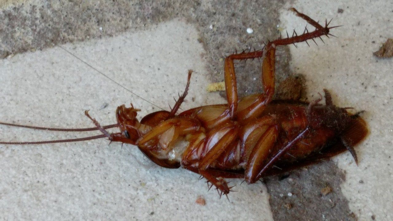 How To Get Rid Of Heavy Roach Manifestation Household Pests Roaches Roach Infestation
