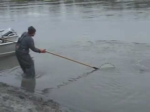 Hooligan Fishing in Alaska - YouTube  I have never done this, but heard that these little sardine-like fish are good for smoking.  During mid-late May, you can see lines of people netting the little fish on the Turnagain Arm near the Portage turn-off.