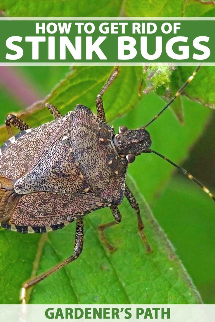 How to Get Rid of Stink Bugs in the Home or Garden | Stink ...