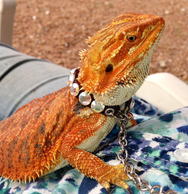 Bearded dragon collar adjustable....cute Reptiles