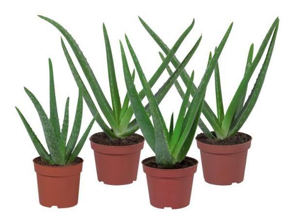 Aloe Vera von Lidl Pflanzen, Aloe vera, Sukkulenten