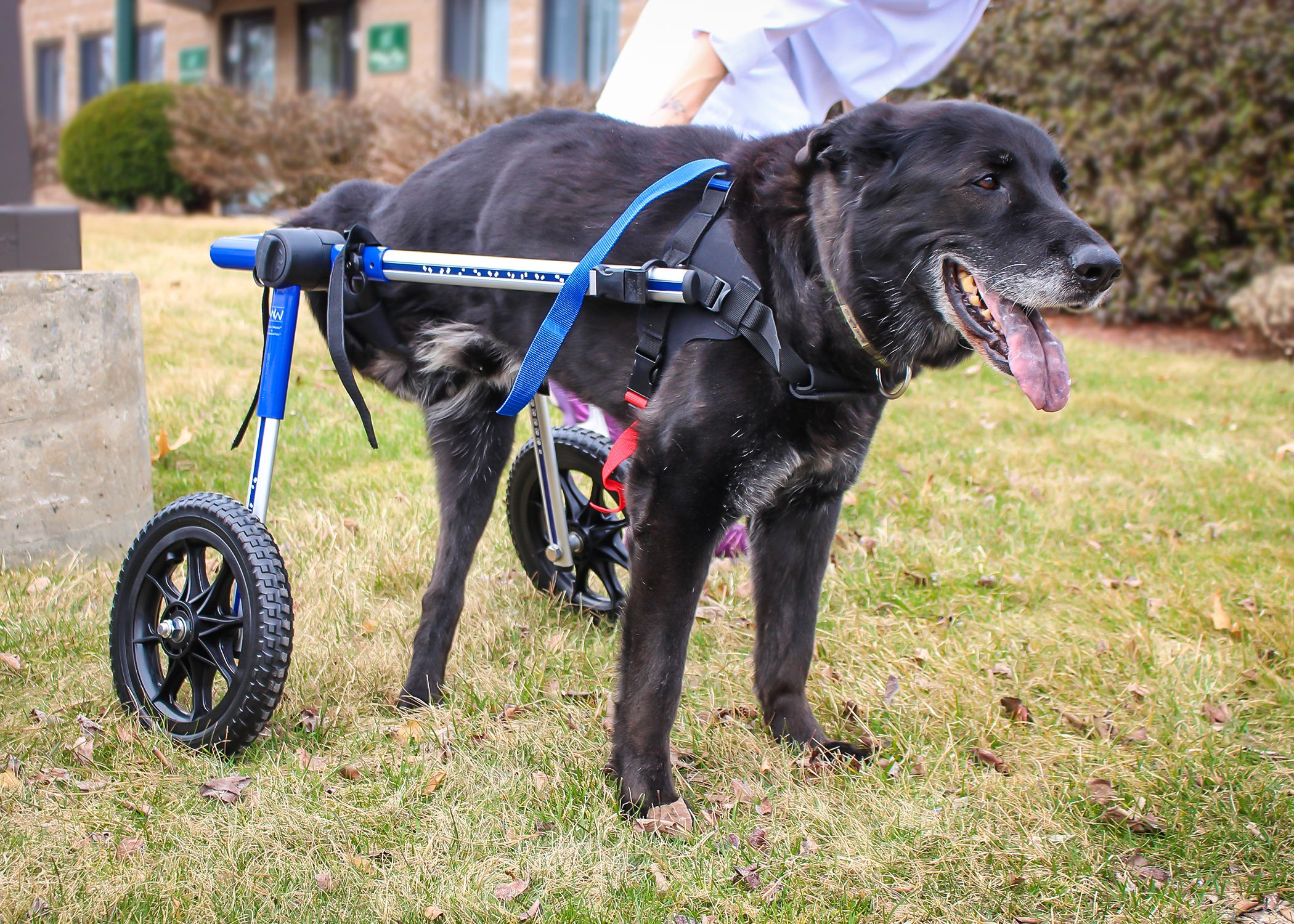The Walkin Wheels Dog Wheelchair Works Great For Dogs With Rear