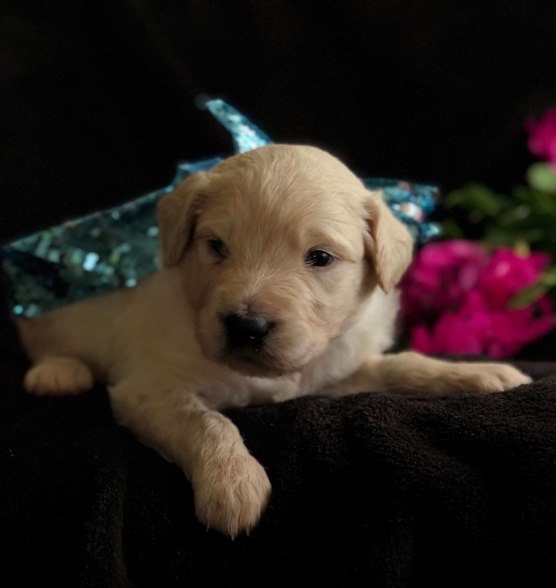 Buster Keaton A Male Goldendoodle Puppy For Sale In Greenville