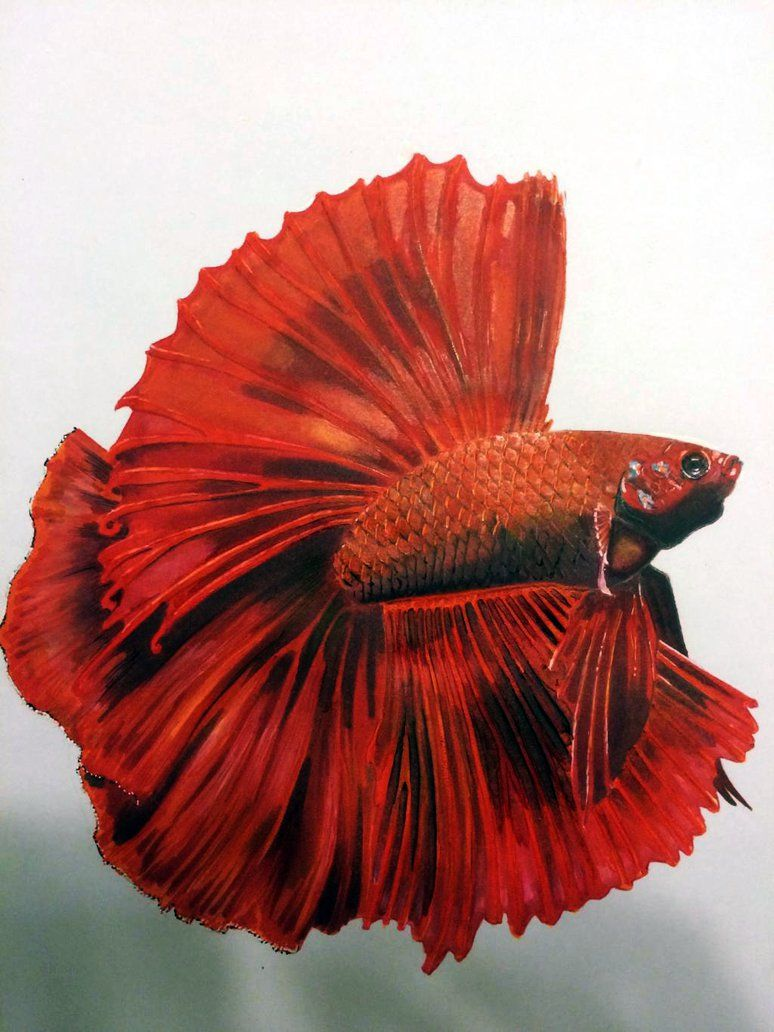 Types of Betta Fish - There are lots of different types of betta ...