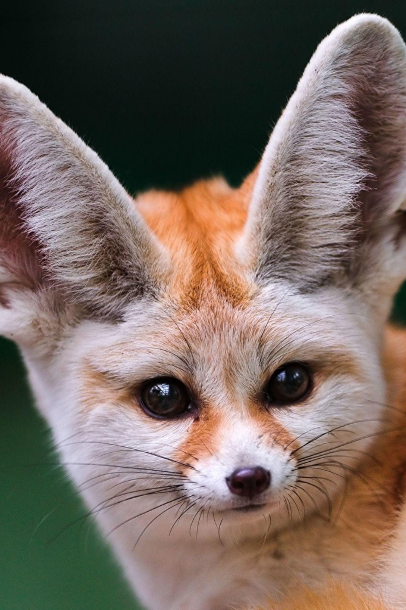 Fennec Fennec Fox Pet Like Animals Animals Beautiful