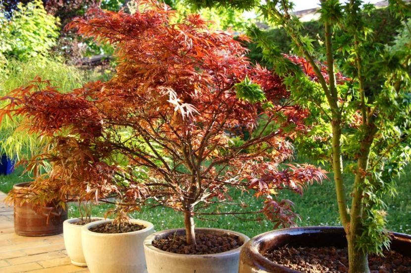 Cultivo Y Cuidados Del Arce Japonés Arce Japones Arce Plantas Jardin