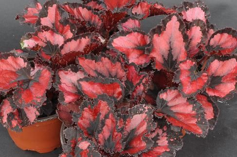 Begonia Phoenix S Red Heart Aka Red Robin With Images