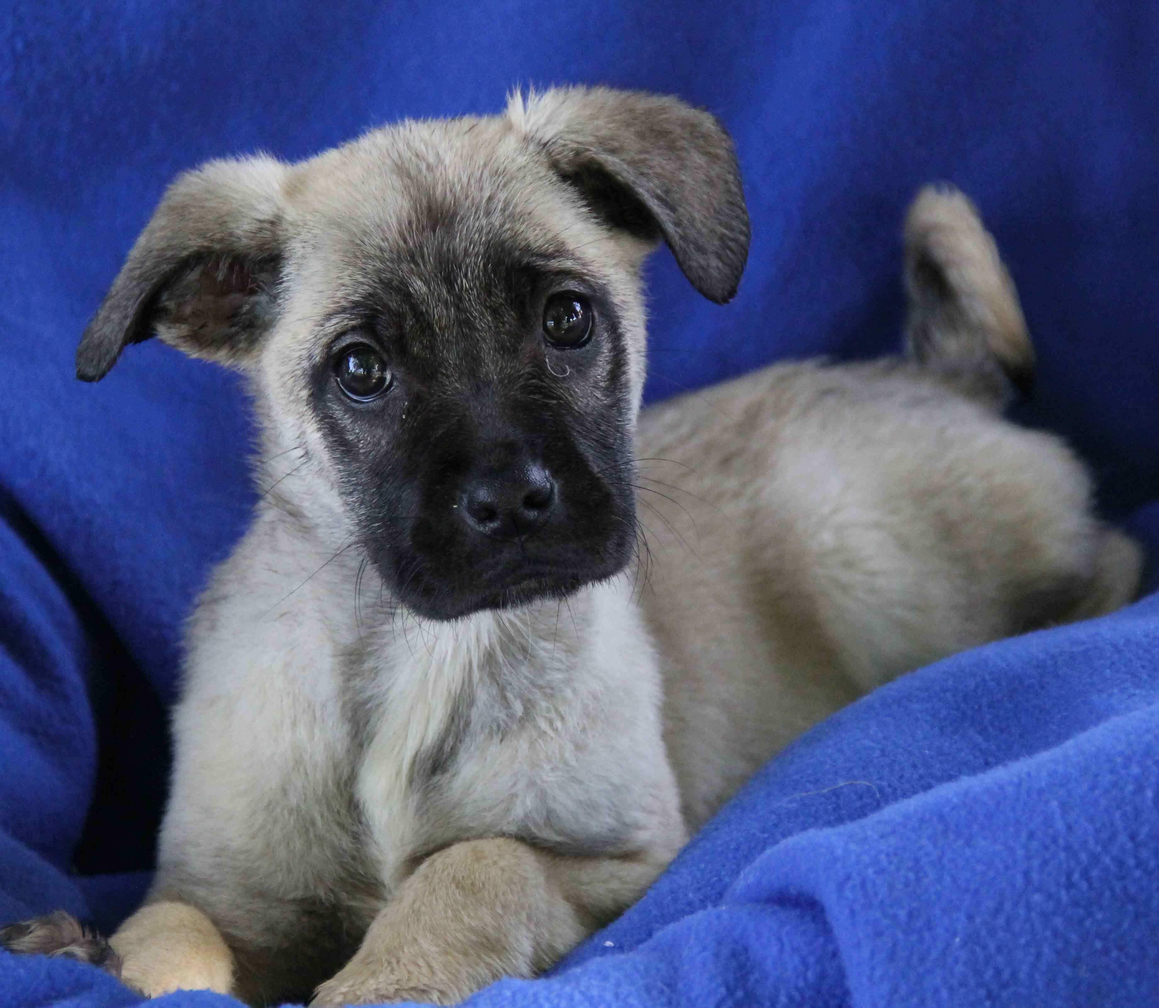 Pixie Dog Pug German Shepherd Dog Mix Puppy Female Medium Yuba