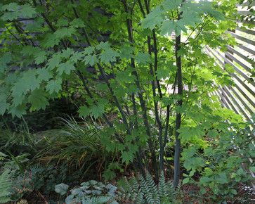 Vine Maple Grove Design Ideas Pictures Remodel And Decor Traditional Landscape Small City Garden Native Plant Gardening