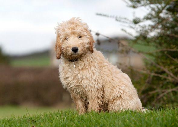 9 Poo Dog Breeds Poodle Mix Breeds Cockapoo Dog Dog Breeds
