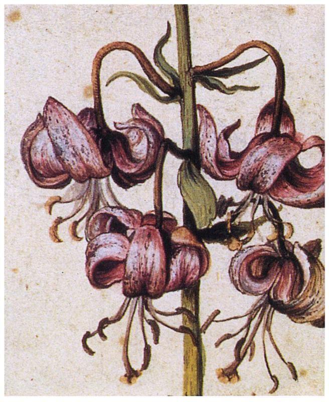 Lillium Martagon (Details) - Albrecht Durer