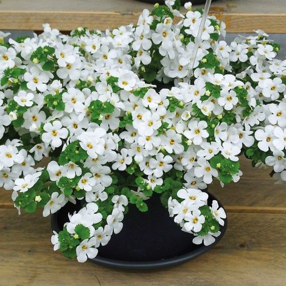bacopa scopia compact white plantes et jardins. Black Bedroom Furniture Sets. Home Design Ideas