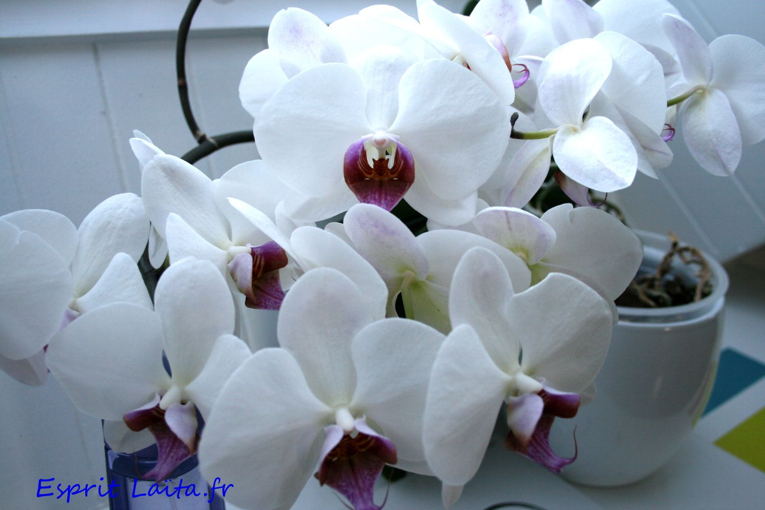 Comment Soigner Une Orchidee Rempoter Orchidee Orchidee