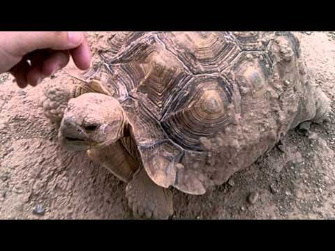Tortoise comes when called!