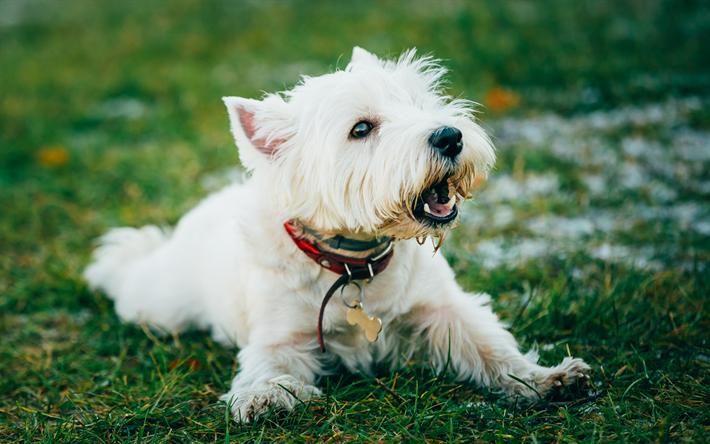 Descargar fondos de pantalla West Highland White Terrier, mascotas ...