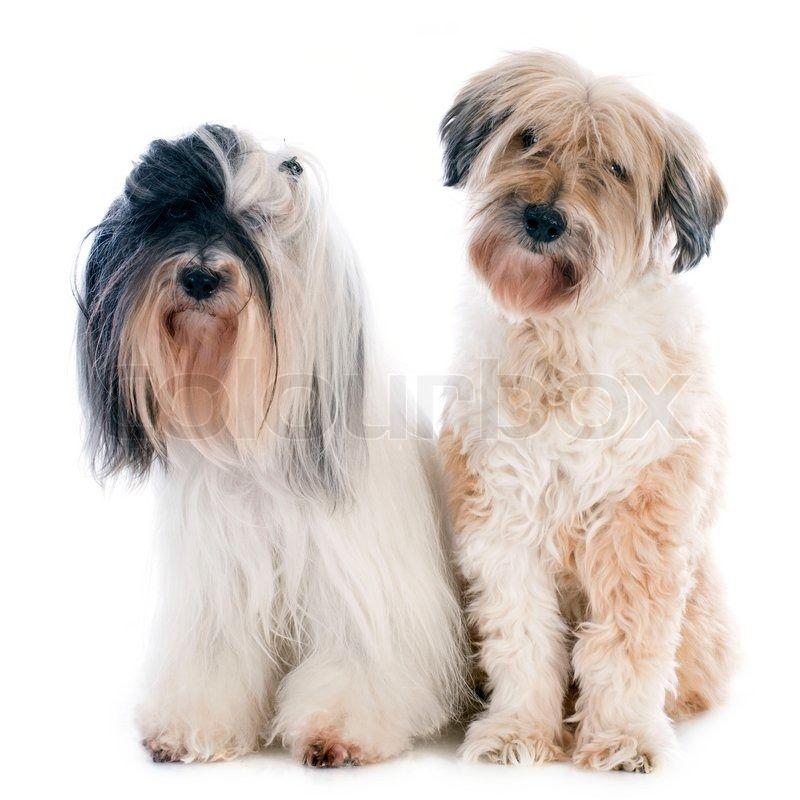 11704897-tibetan-terriers.jpg (800×800)