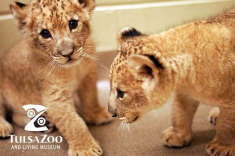Lion cubs tulsa zoo born March 2012both are malesborn in a