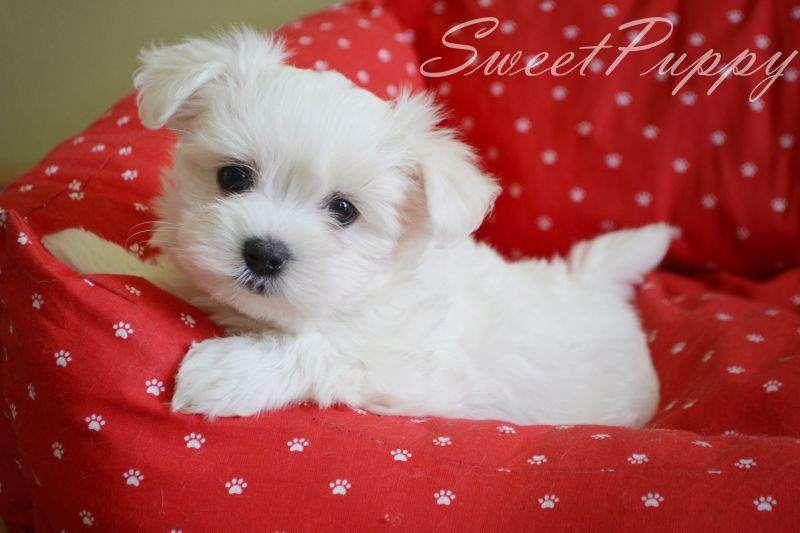 Maltanczyk Szczeniak Szukaj W Google Animals Dogs Puppies