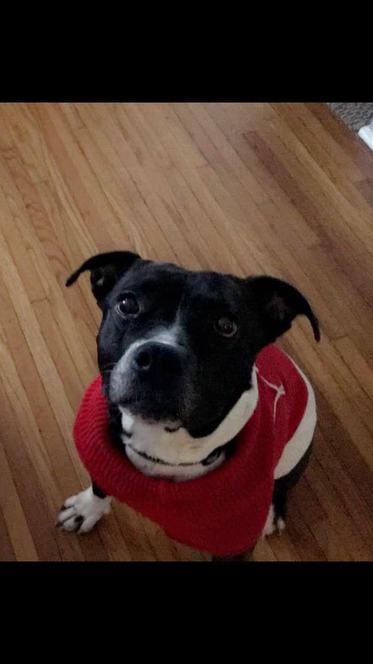 Adopt Tess on Pitbull terrier, Dog adoption, Bull