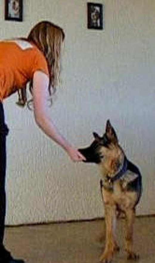 How To Stop A German Shepherd Puppy From Biting Bite Inhibition