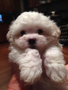 Maltese Puppies Akc 8 Weeks Perros Cachorros Perro Shitzu Perros