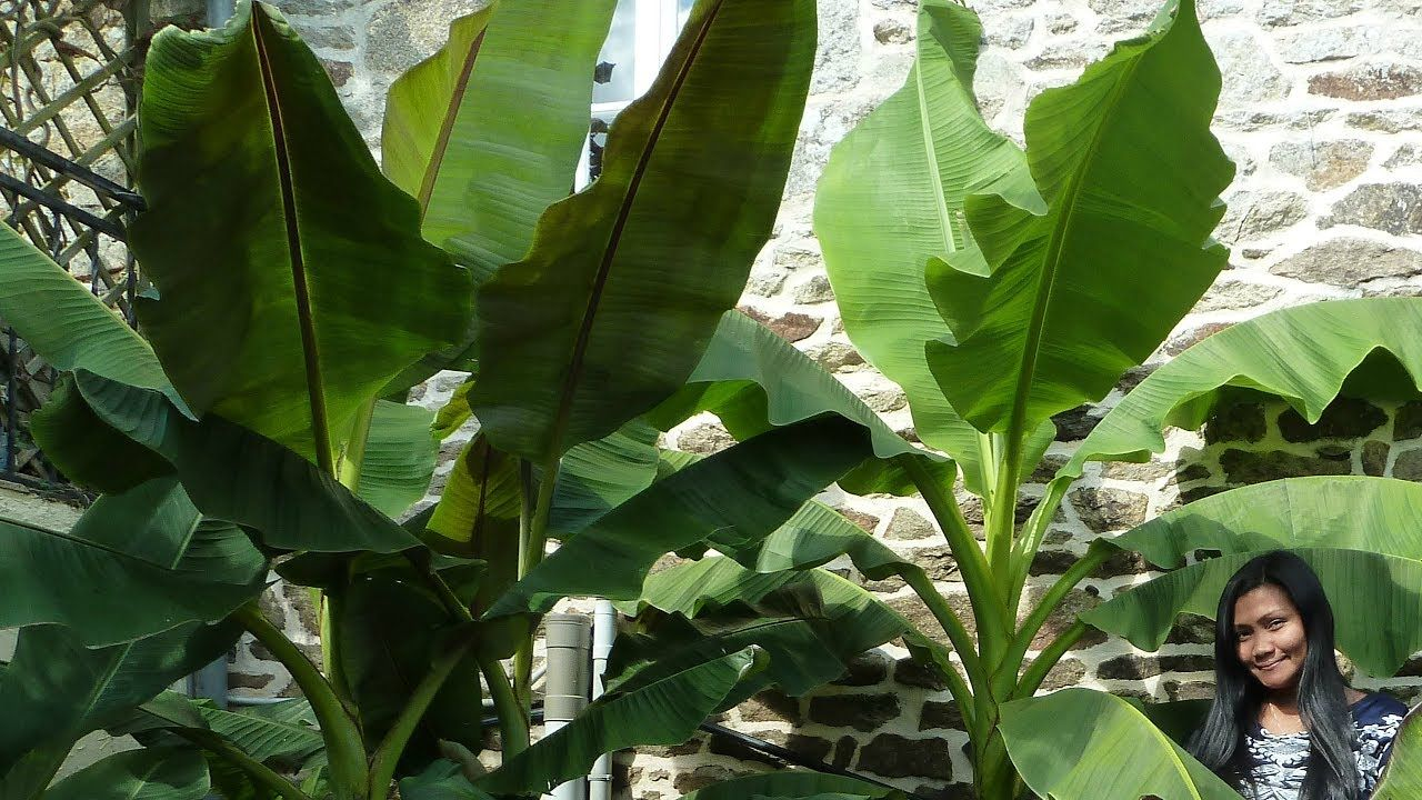 How to protect banana plants in winter