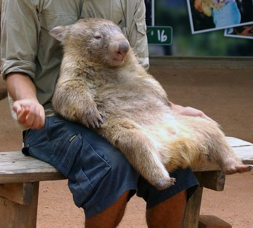 wombat chillin like a boss cute animals pinterest s e tiere tier und veganer. Black Bedroom Furniture Sets. Home Design Ideas