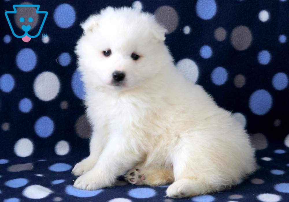 Bear Samoyed Puppies For Sale Samoyed Puppy Cute Funny Animals
