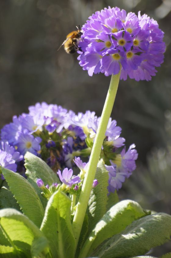 Primula denticulata - drumstick primula : an easy-growing, rumbustious species, originating from meadows and the light woodland of the Himalayas. It is suitable for any garden where the soil is neutral or acid and does not dry out in summer