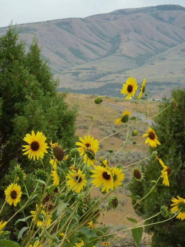 Another September 5 - Sunflowers, Junipers and Sagebrush, 2011 Photo ~ V. Kantabutra