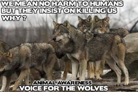 """Animal Awareness on Twitter: """"Retweet For The Wolves!  #Wolf #Wolves #Animals #AnimalRights https://t.co/THxKCbpJUx"""""""
