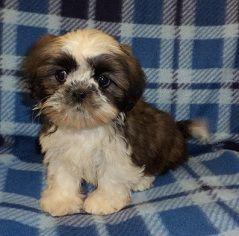 Shih Tzu Puppy For Sale Lennon Jpg Puppies
