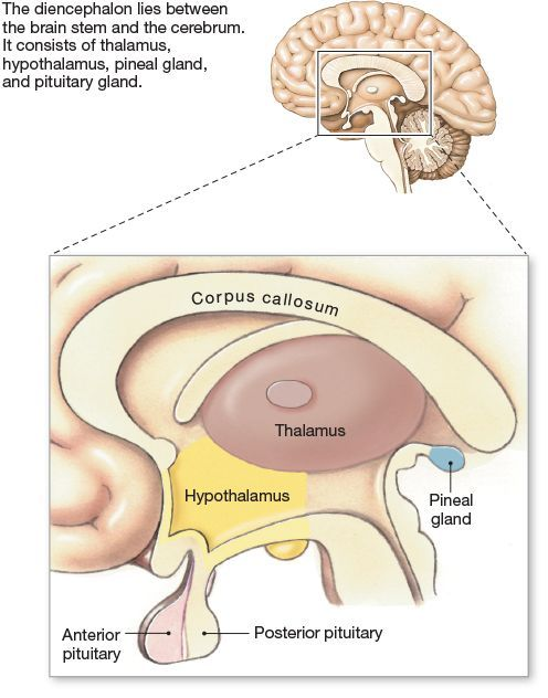 Pin by kamran on manawar | Pinterest | Brain anatomy