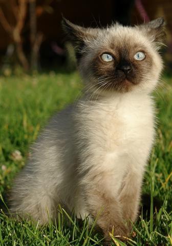 Beautiful Fluffy Siamese Kitten Fluffy Siamese Cat Ragdoll I