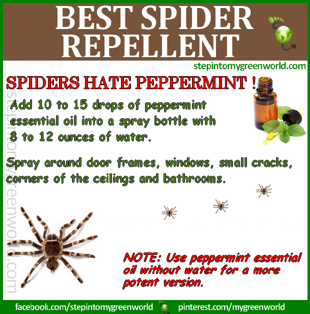 spiders hate peppermint oil this is by far the best
