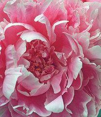 Flowers Art - Plush Peony by Kathy Yates
